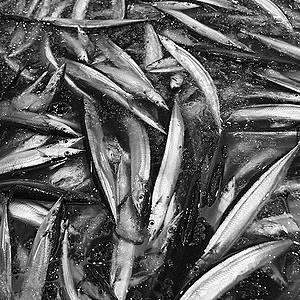 伴助 さんま 秋刀魚 サンマ 偽装 北海道