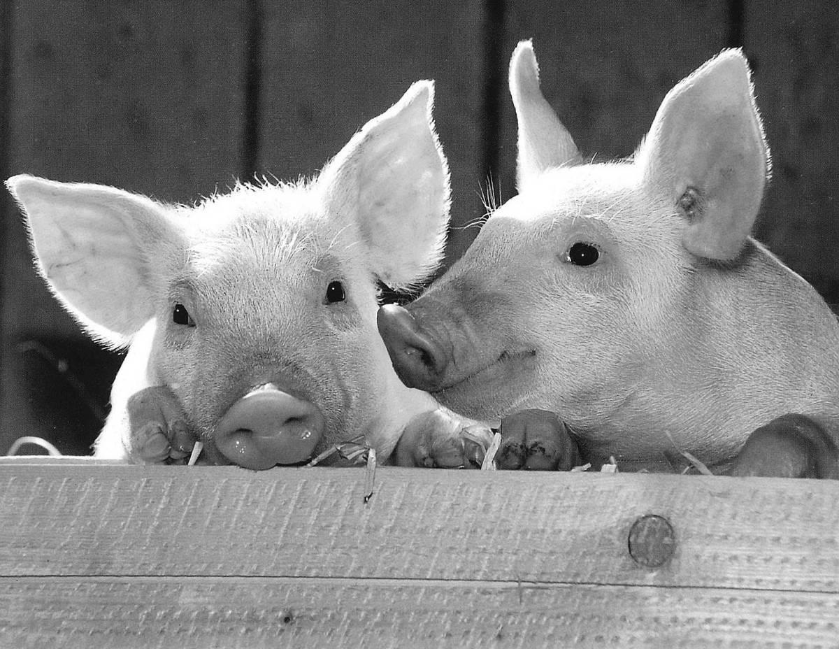 アフリカ豚コレラ 豚コレラ ASF CSF 感染 拡大 韓国 中国 旅行客 肉の持ち込み 防疫
